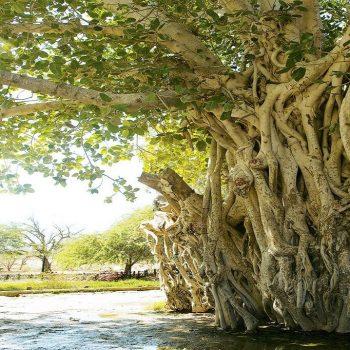 Green tree of Kish